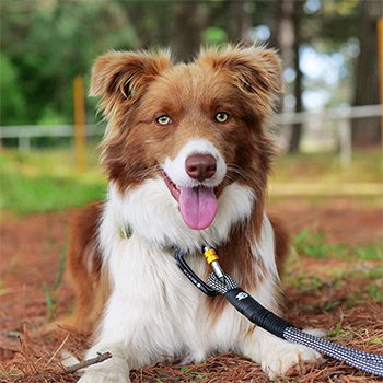 Sidney wears the Wolf & I Co. White Lines Training Leash